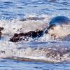 Harbor Seal splashing in surf on the rocks, Totman Cove, Phippsburg, Maine Casco bay, marine mammal