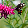 Black Swallowtail on monarda, Coastal Maine garden, August , Maine butterfly
