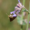 Skipper butterfly on catmint, also known as Nepeta, coastal Maine Phippsburg garden in July , Maine butterfly