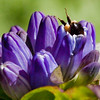 Bumble bee entering blossom of Bottle Gentian, coastal Maine garden, Phippsburg , Maine butterfly