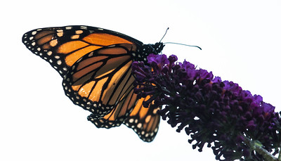 Migrating Monarch butterflies, Small Point, Phippsburg Maine, early October
