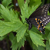 "Black Swallowtail butterfly, an uncommon butterfly in Maine, August, Phippsburg.  For more on butterflies found in Maine visit <a href=""http://www.thebutterflysite.com/maine-butterflies.shtml"">http://www.thebutterflysite.com/maine-butterflies.shtml</a>. For a complete checklist of Maine butterflies see <a href=""http://mbs.umf.maine.edu/Butterfly%20Species%20List%207.htm"">http://mbs.umf.maine.edu/Butterfly%20Species%20List%207.htm</a>"