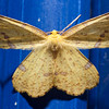 False Crocus Geometer (Xanthotype urticaria) is a North American moth in the family Geometridaebutterfly, Phippsburg, Maine