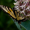 Canadian Tiger Swallowtail butterfly on native Milkweed flower, Phippsburg, Maine , Maine butterfly