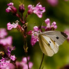 White Cabbage Butterfly on Flos-cu-culls or Ragged Robin, pink, native wildflower, coastal Maine Phippsburg garden, June , Maine butterfly