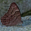 Northern Pearly-eye butterfly, ventral view , Maine butterfly