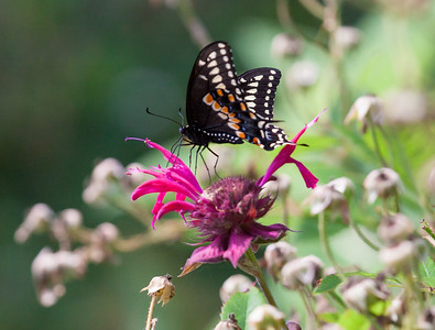 .  For more on butterflies found in Maine visit http://www.thebutterflysite.com/maine-butterflies.shtml. For a complete checklist of Maine butterflies see http://mbs.umf.maine.edu/Butterfly%20Species%20List%207.htm