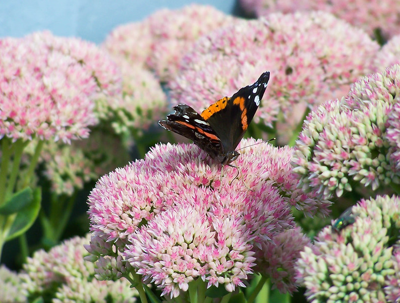 """Red Admiral butterfly on Sedum, Autumn Joy.  For more on butterflies found in Maine visit <a href=""""http://www.thebutterflysite.com/maine-butterflies.shtml"""">http://www.thebutterflysite.com/maine-butterflies.shtml</a>"""