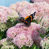"Red Admiral butterfly on Sedum, Autumn Joy.  For more on butterflies found in Maine visit <a href=""http://www.thebutterflysite.com/maine-butterflies.shtml"">http://www.thebutterflysite.com/maine-butterflies.shtml</a>"