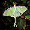 Luna Moth, Maine , Maine butterfly