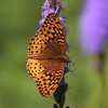 Great Spangled Fritillary on liatris flower, August 2010, Phippsburg Maine , Maine butterfly