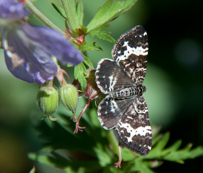 "White-Banded Black Moth (Rheumaptera subhastata). June, PHIppsburg, Maine coastal garden, this is the moth of the Inchworm caterpillar, the tiny, green caterpillar that ""inches"" or hitches its way along , Maine butterfly"