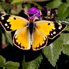 Orange Sulphur butterfly on Lamium blossom, coastal Maine Phippsburg garden, fall , Maine butterfly