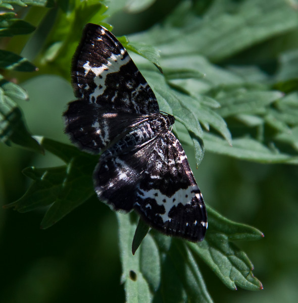 White-Banded Black Moth (Rheumaptera subhastata). This is the moth of the Inchworm caterpillar, June, Phippsburg, Maine , Maine butterfly