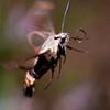 Hummingbird Sphinx moth in flight, Phippsburg Maine , Maine butterfly