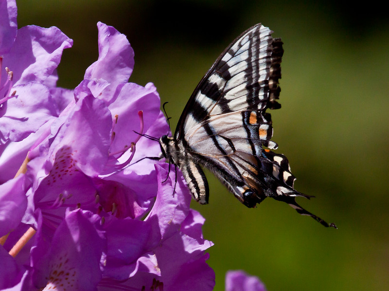 Canadian Tiger Swallowtail, ventral view,  on rhododendron, Phippsburg Maine coastal garden, June , Maine butterfly