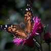 , Maine butterfly