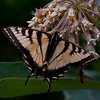 Canadian Tiger Swallowtail butterfly on milkweed, July, Phippsburg Maine , Maine butterfly