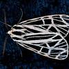Virgin Tiger moth, Gammia virgo , Maine butterfly