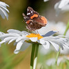 Red Admiral butterfly, dorsal and ventral views, daisies, Phippsburg Maine , Maine butterfly
