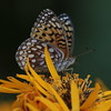 Great Spangled fritillary, ventral view, feeding on Ligularia Desdemona, Phippsburg, Maine , Maine butterfly