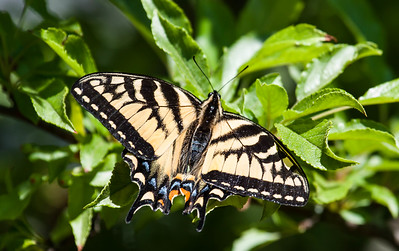 Canadian Tiger Swallowtail, Papilio canadensis, Phippsburg,, Maine. 2013 is turning out to be a really big year for Canadian Tiger Swallowtail butterflies in coastal Maine. I am seeing as many as a half dozen at a time. They really like James MacFarland lilacs.