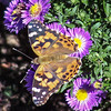 Painted Lady Butterfly on New England asters Phippsburg Maine