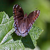 Red Spotted Purple butterfly and White Admiral hybrid , Maine butterfly