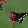 """Papilio polyxenes, the Black Swallowtail butterfly is also called American swallowtail or Parsnip swallowtail. This one is male. Females have an irridescent blue band on the hind wing which this one lacks.   Mid July, Phippsburg, Maine. For more information about Black Swallowtails butterflies see <a href=""""http://www.butterfliesandmoths.org/species/Papilio-polyxenes"""">http://www.butterfliesandmoths.org/species/Papilio-polyxenes</a>"""