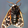 Virgin Tiger moth, Gammia vergo, view of body and wings from underneath , Maine butterfly