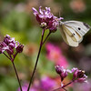 "White Cabbage Butterfly feeding on native wildflower, ""Ragged Robin,"" or Flos-cu-culis."" Phippsburg Maine, June , Maine butterfly"