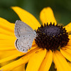 Summer Azure butterfly, Celastrina neglecta feeding on Black Eyed Susans, Rudbeckia fulgida, mid August garden, Phippsburg Maine