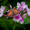 Butterfly on Phlox, Painted Lady , Maine butterfly