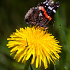 Red Admiral On Dandelion, Wings Up Side , Maine butterfly