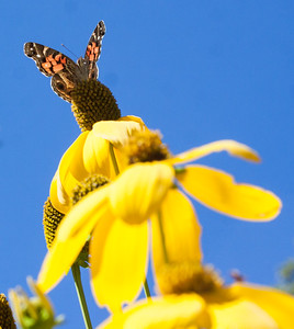 Painted Lady butterfly on Ratibida, Pairie Coneflower, Phippsburg, Maine garden