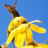 Painted Lady butterfly on Ratibida, Pairie Coneflower, Phippsburg, Maine garden