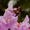 Hummingbird Clearwing Sphinx moth on rhododendron , Maine butterfly