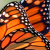 Monarch butterfly wing detail, Phippsburg, Maine , Maine butterfly