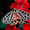 Virgin Tiger moth, Gammia vergo, dorsal view, sitting on red, pelargonium, or geranium blossoms. , Maine butterfly
