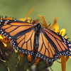 "Monarch butterfly on ligularia, ""Desdemona"" in coastal Maine garden, Phipppsburg , Maine butterfly"