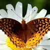 Great Spangled Fritillary on daisy, brushfoot butterfly, Phippsburg Maine, July 2010 , Maine butterfly