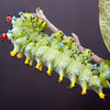 "Cecropia moth caterpillar. Cecropia moths are also called Robin Moths.. For more on Cecropia moths' development and life cycle visit <a href=""http://www.wormspit.com/cecropia.htm"">http://www.wormspit.com/cecropia.htm</a>"