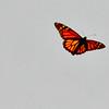 Monarch butterfly in flight , Maine butterfly