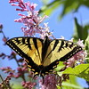Eastern Swallowtail on James MacFarland pink lilac, spring, Phippsburg Maine , Maine butterfly