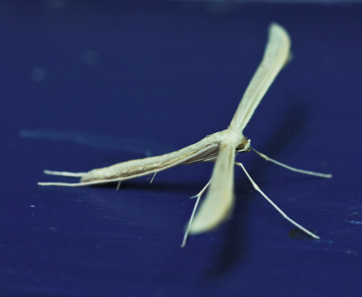 Plume Moth, side view , Maine butterfly