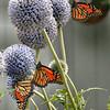 "Monarch butterflies on echinops, ""Globe thistle,"" coastal Maine garden, Phippsburg , Maine butterfly"