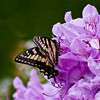 Eastern Swallowtail on rhododendron , Maine butterfly
