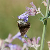 This is a small Skipper. I'm not sure what kind. Got any ideas? Your comments and ID thoughts are welcomed. Phippsburg, Maine, July , Maine butterfly
