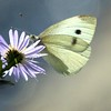 Yellow Sulfur butterfly on blue michaelmas aster, New England aster, coastal Maine garden, Phippsburg , Maine butterfly