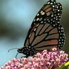 Monarch butterfly on Sedum , Maine butterfly